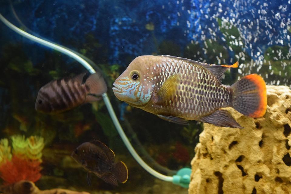 I pesci piranha, il terrore del Rio delle Amazzoni